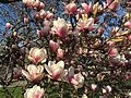 2015-04-12 17 18 28 Saucer Magnolia blossoms on Princeton Avenue in Lawrence, New Jersey.jpg