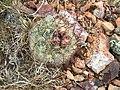 2015-04-15 15 18 36 Ball cactus on Elko Mountain in Elko, Nevada.jpg