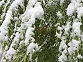 2015-05-07 07 42 02 New green leaves covered by a late spring wet snowfall on a Weeping Willow on Douglas Street in Elko, Nevada.jpg