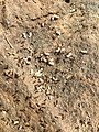 2015-05-16 12 39 48 Ants tending to grubs at a disturbed ant nest on Terrace Boulevard in Ewing, New Jersey.jpg