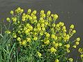 20150509Barbarea vulgaris2.jpg