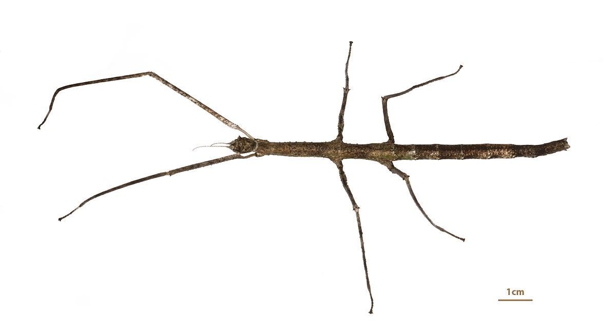 Walking stick anatomy