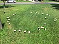 2017-08-03 11 23 31 A fairy ring (fruiting bodies of a mushroom growing in a circle within a lawn) along Ladybank Lane in the Chantilly Highlands section of Oak Hill, Fairfax County, Virginia.jpg