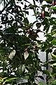 20171014 - Capsicum chinense Jacq. 'Pimenta da Neyde'.jpg