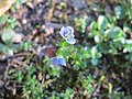20171018Veronica serpyllifolia3.jpg