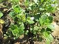 20190228Veronica hederifolia3.jpg