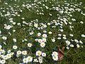 24Réti margitvirág.jpg