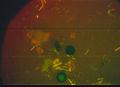 34 puccinia tirolensis zwetko 13.10.jpg