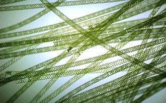 Spirogyra - Image: 3x 2 millimeters of Spirogyra