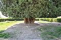 4,000-year-old Iranian cypress (6223659144).jpg