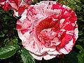 4506 - Bern - Rosengarten - Rose.JPG