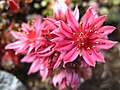 5734 - Schynige Platte - Flowers.JPG
