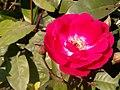ASSAM FLOWER.jpg