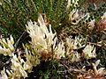 ASTRAGALUS MONSPESSULANUS - MONTSEC - IB-005 (Herba de Sant Llorenç).jpg