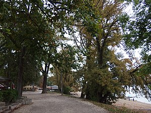 A Római-part fái 2016 őszén.JPG
