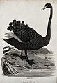 A black swan about descend into a lake. Etching by Eastgate. Wellcome V0020498EL.jpg