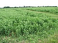 A crop of peas - geograph.org.uk - 1366630.jpg