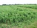 A crop of peas - geograph.org.uk - 1366630.jpg