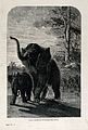 A female African elephant (Elephas africanus) shielding her Wellcome V0021546.jpg