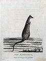 A kangaroo. Etching by P. Mazell. Wellcome V0022858EL.jpg