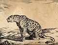 A leopard sitting on the ground. Engraving by M De Bye after Wellcome V0021498.jpg