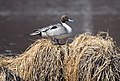 A northern pintail (39724558-f0ad-4bf6-865f-0d5fe821a13a).jpg