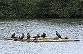 A raft of cormorants - geograph.org.uk - 1428823.jpg
