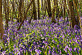 A sea of bluebells.jpg
