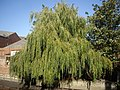 A weeping willow - geograph.org.uk - 1513356.jpg