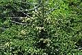 Abies fraseri (Fraser fir) (Clingmans Dome, Great Smoky Mountains, North Carolina, USA) 8 (36178912544).jpg