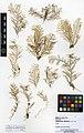Abietinaria abietina (MNHN-IK-2014-1714) 003.jpeg