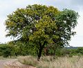 Acacia karroo, bloeityd, Roodeplaat NR.jpg