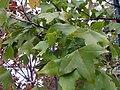 Acer buergeranum 1zz.jpg
