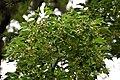 Acer buergerianum in Eastwoodhill Arboretum (3).jpg
