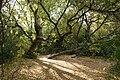 Acer negundo Trees.jpg