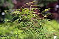 Acer palmatum Ao shime no uchi 0zz.jpg