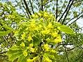 Acer platanoides 001.jpg