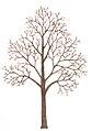 Acer pseudoplatanus tree illustration.jpg