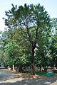 Acharya Jagadish Chandra Bose Indian Botanic Garden - Howrah 2011-01-08 9763.JPG