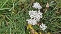 Achillea millefolium 102558964.jpg