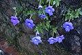 Achimenes grandiflora 0364.jpg