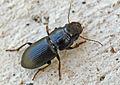 Acinopus picipes - entomart - 01.jpg