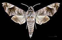 Acosmeryx anceus subdentata MHNT CUT 2010 0 98, Mudumalai National Park, Tamil Nadu, male dorsal.jpg