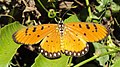 Acraea terpsicore - Tawny coster 05.JPG