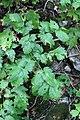 Actaea spicata leaf (09).jpg