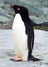 An Adélie penguin