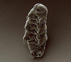 240px adult tardigrade