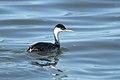 Aechmophorus occidentalis -Tule Lake, Siskiyou County, California, USA-8 (1).jpg