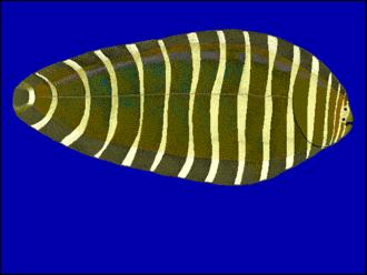 Soleidae - Image: Aecor u 0