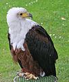 African Fish Eagle (2693015624).jpg